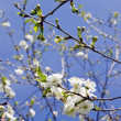 Details of white blooming apple tree branches. — Stock Photo
