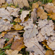 Water drops on oak leaves lying on the ground. - Stock Photo