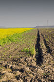 Agricultural rapeseed. Plowed and planted field. — Stock Photo