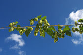 Pflanze-hop mit zapfen — Stockfoto