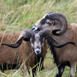 Stockfoto: Two close Blackbellied sheep.