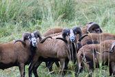 Herd of blackbellied sheep. — Stock Photo
