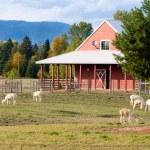 alpacas en una granja — Foto de Stock