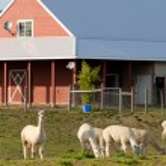 Alpaka farm — Stockfoto