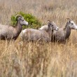 Small herd of bighorn sheep. — Stockfoto
