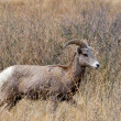 Stock Photo: Majestic bighorn ewe.