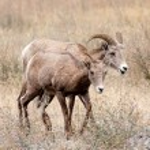 Bighorn ewe and lamb. — Stock Photo