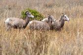 Małe stado owiec bighorn. — Zdjęcie stockowe