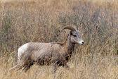 Majestic bighorn ewe. — Stock Photo