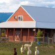 Alpacas grazing on the farm. — Foto Stock