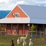 Alpakas grasen auf dem Bauernhof — Stockfoto