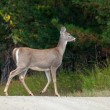 Walking deer. — Stock Photo