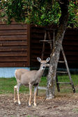 Deer in a yard. — Stock Photo