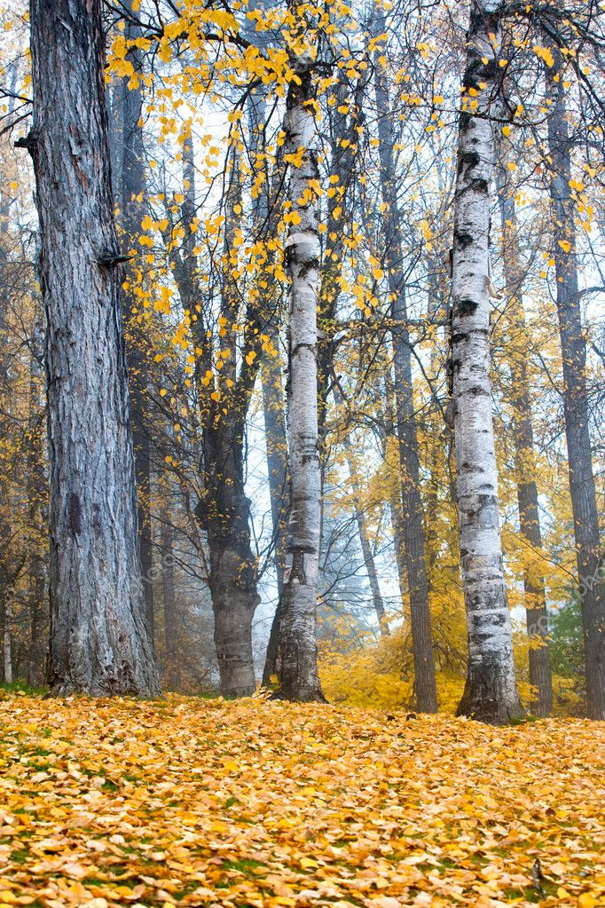 Tall white aspen trees stand tall with yellowed leaves scattered on the ground. — Stock Photo #7431155