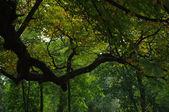 Horse-chestnut tree — Stock Photo
