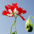 Stock Photo: Two matted poppy blossoms
