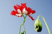 Twee gematteerd poppy blossoms — Stockfoto