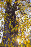 Old birch autumn foliage — Foto Stock