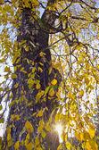 Oude berk herfst gebladerte — Stockfoto