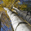 Stock Photo: Autumn birches with golden foliage