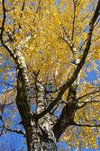 Października brzoza, gałęzi i liści złotych — Zdjęcie stockowe