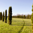 Thuja on the green  field — Stock Photo