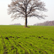 Winter crop field and tree in autumn — Stock Photo
