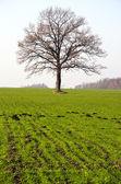 Campo de culturas de inverno e árvore no outono — Fotografia Stock
