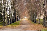 Podzimní břízy alej — Stock fotografie