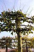 Dekorativní strom v parku — Stock fotografie