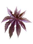 Burgundy leaf of a plant castor — Stock Photo