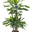 Stock Photo: Houseplant sansevieriyin brown pot