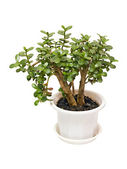 Houseplant money tree crassula — Stock Photo