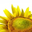 Sunflower on background sky — Stock Photo