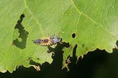 Larvas de mariquita — Foto de Stock