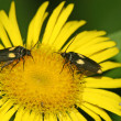 Moths in a yellow flower — Foto Stock