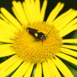 Moths in a yellow flower - Stock Photo