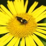 Motten in eine gelbe Blume — Stockfoto