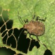 Stinkbug - Stock Photo
