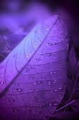 Violet leaf background. — Stock Photo