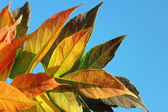 Maple leaves on the sky — Stock Photo