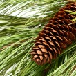 Stockfoto: Pinecone