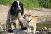 """Two dogs' Russian Spaniel """"and"""" Chihuahua """" — Stock Photo"""