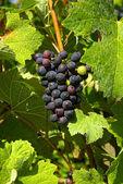 Czerwonego wina gronowego — Zdjęcie stockowe
