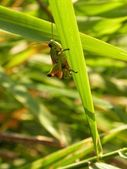 Grasshopper hidding — Stock Photo