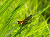Grasshopper on the green grass — Stock Photo