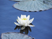 Spring flower - water lily, close up — Photo