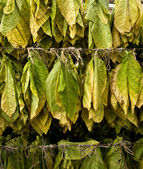 Tobacco leaves — Stock Photo