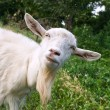 Funny goat — Stock Photo