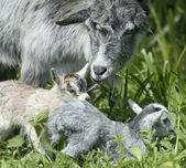 Goat and her kid — Stock Photo